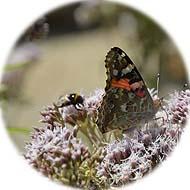 _vlinder